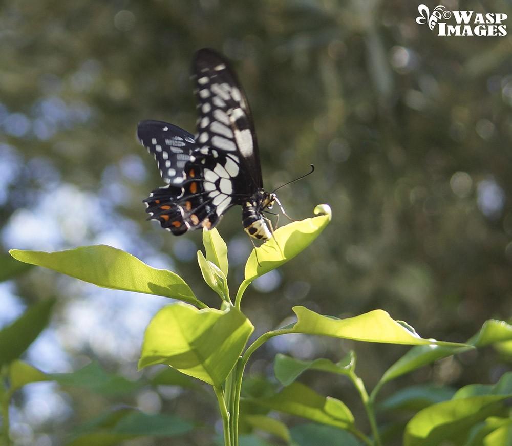 DSC05293 Dingy Swallowtail butterfly.JPG