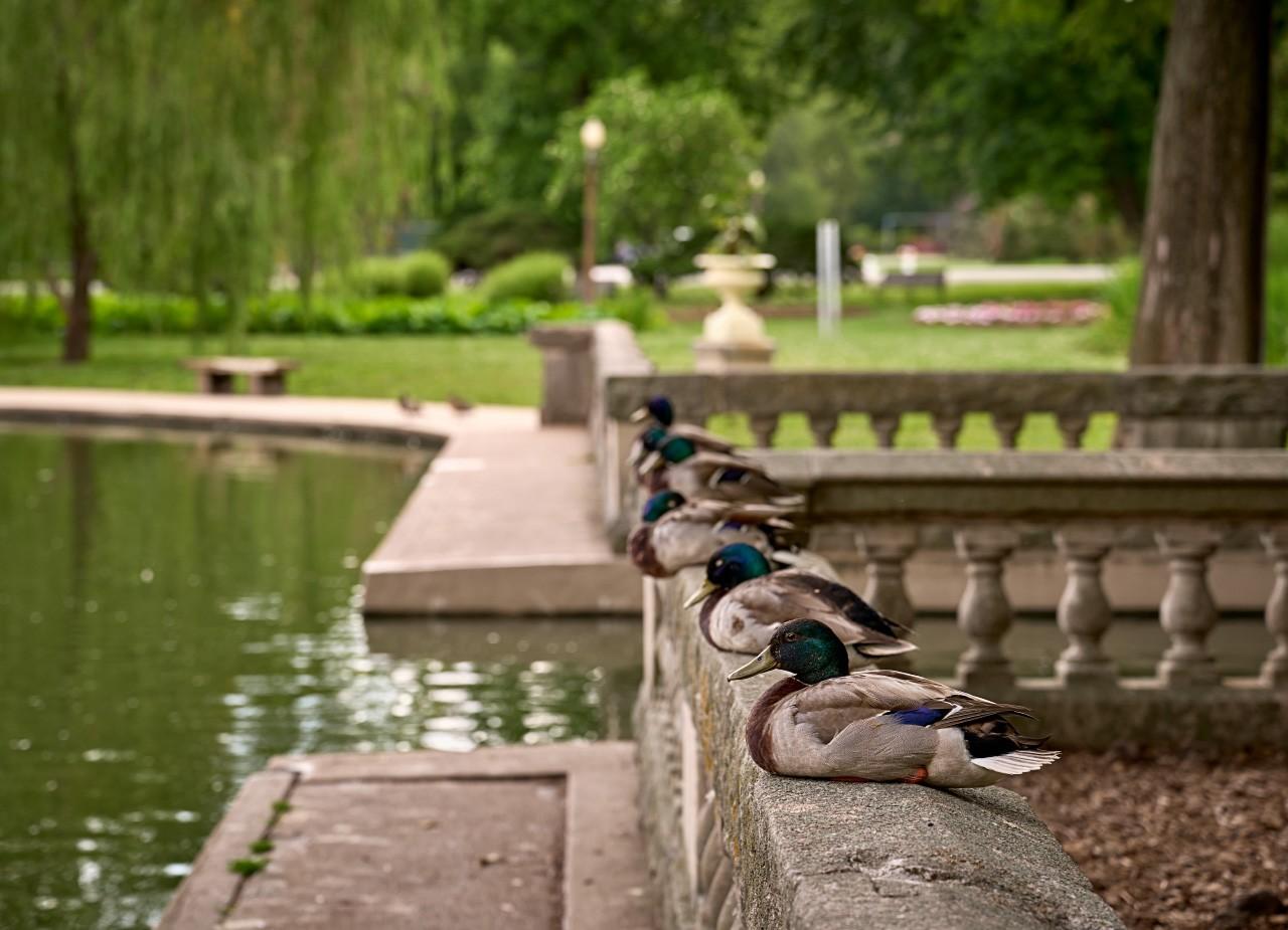 ducks_row.jpg