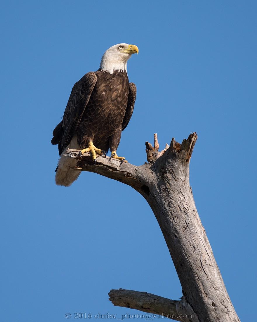 eagle-5.jpg