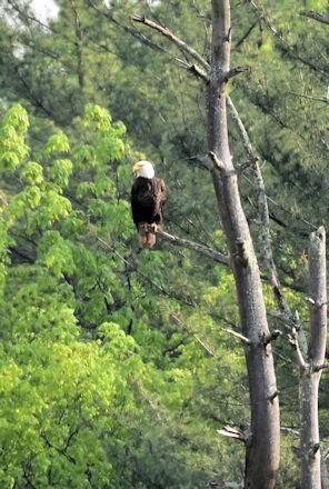 eagle2341.jpg