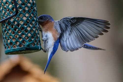 Eastern Blue Bird 1 (1 of 1).jpg