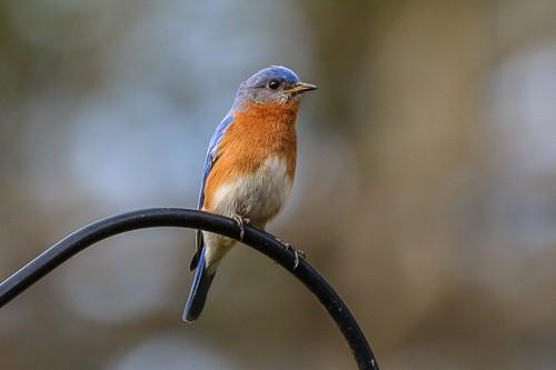 Eastern Blue Bird 10 (1 of 1).jpg
