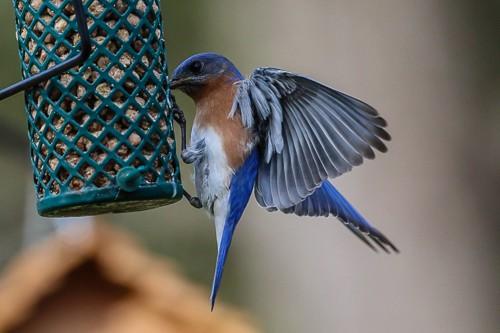 Eastern Blue Bird 2 (1 of 1).jpg