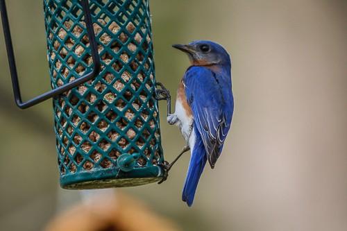 Eastern Blue Bird 4 (1 of 1).jpg
