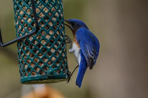 Eastern Blue Bird 5 (1 of 1).jpg