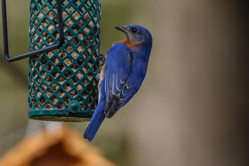 Eastern Blue Bird 6 (1 of 1).jpg