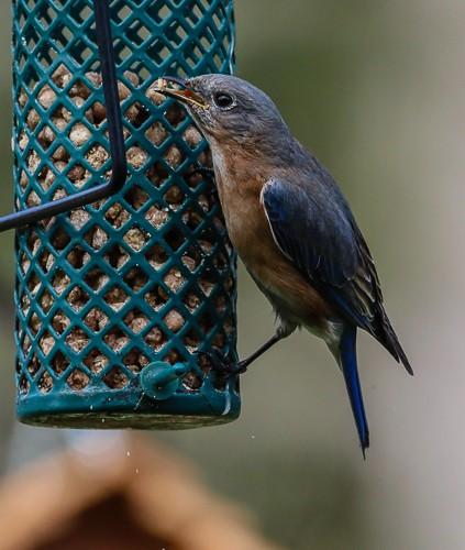 Eastern Blue Bird 7 (1 of 1).jpg