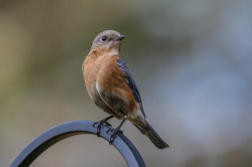 Eastern Blue Bird 8 (1 of 1).jpg