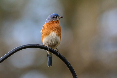 Eastern Blue Bird 9 (1 of 1).jpg