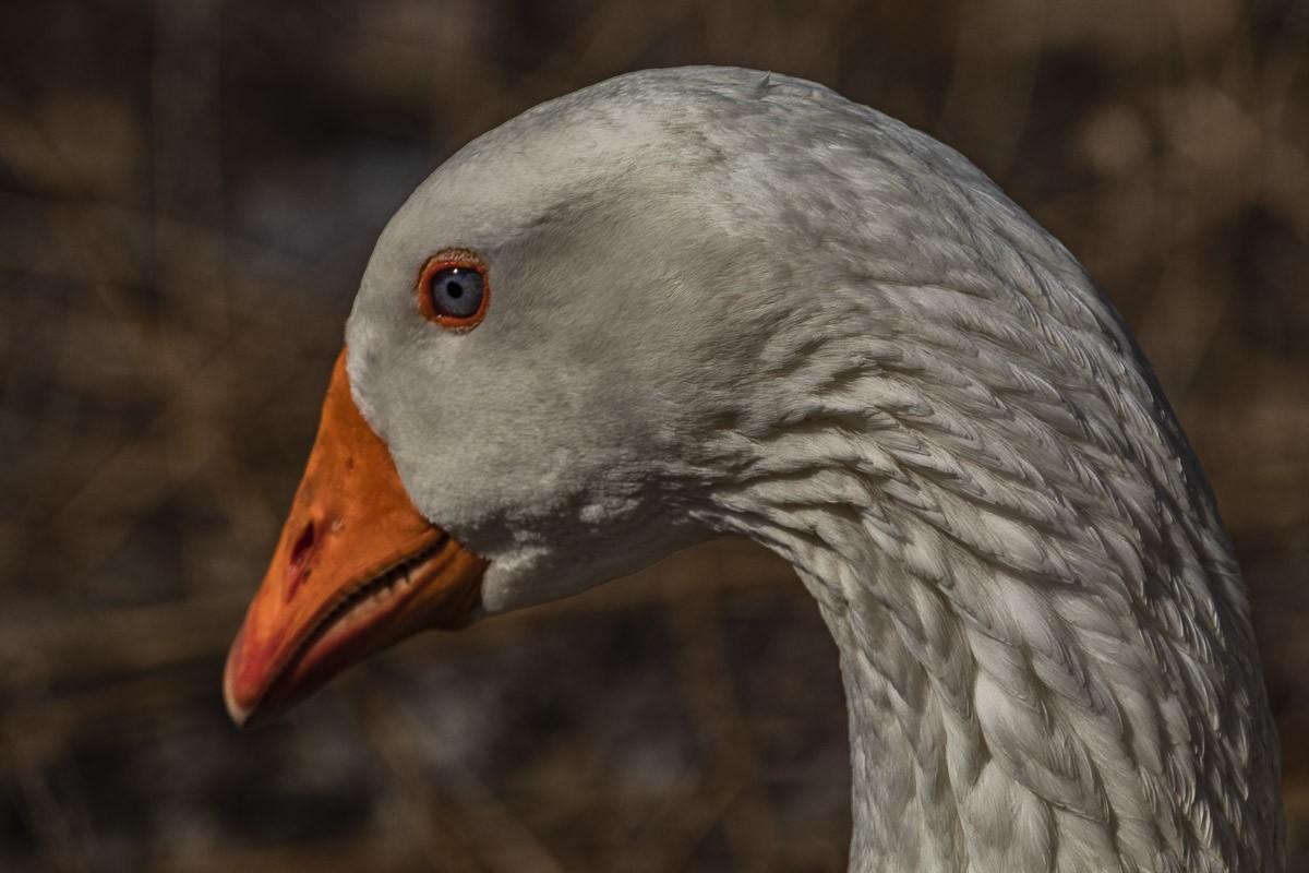 Emden Goose 2.jpg
