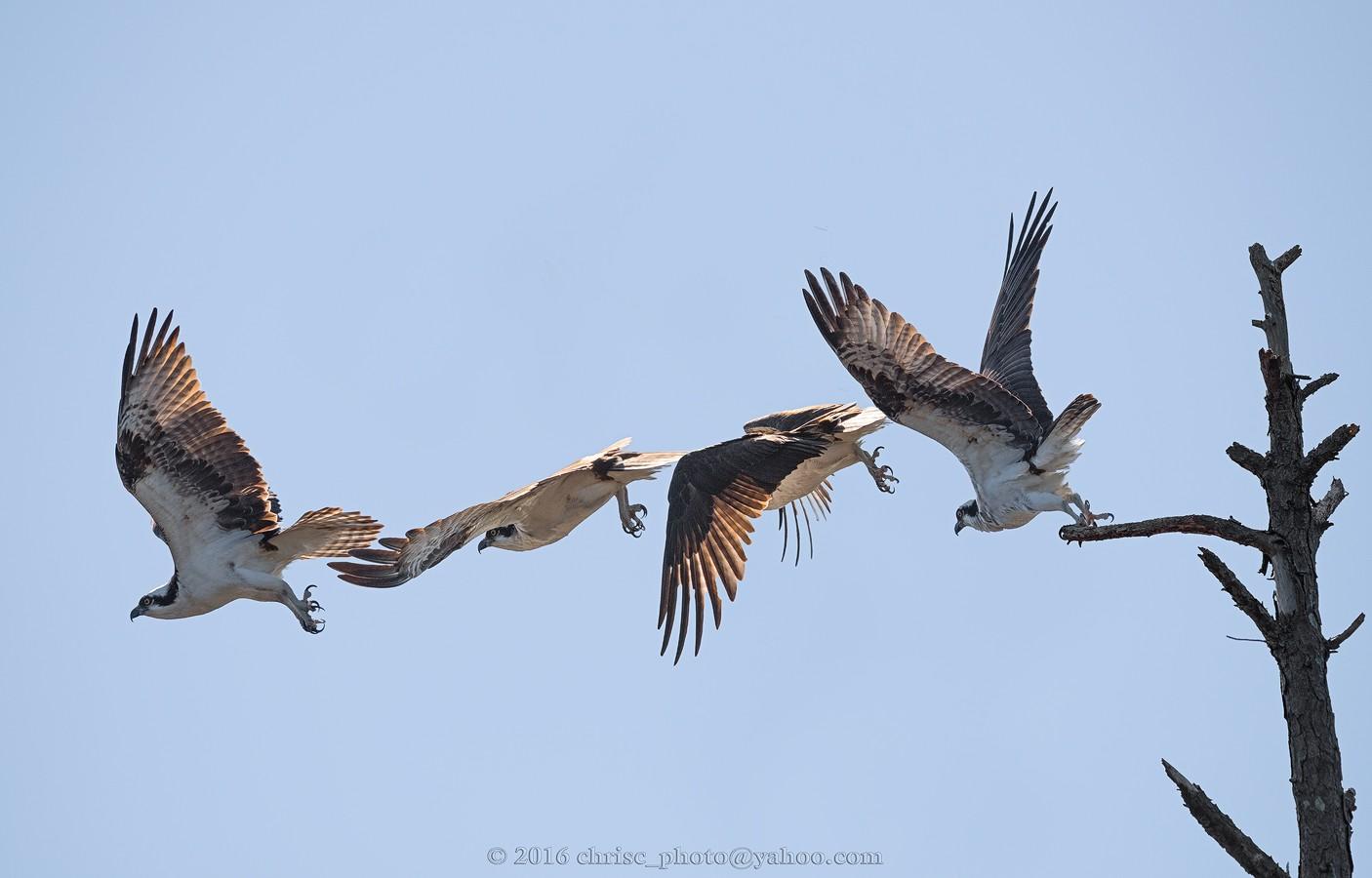 Flight-of-the-Osprey.jpg