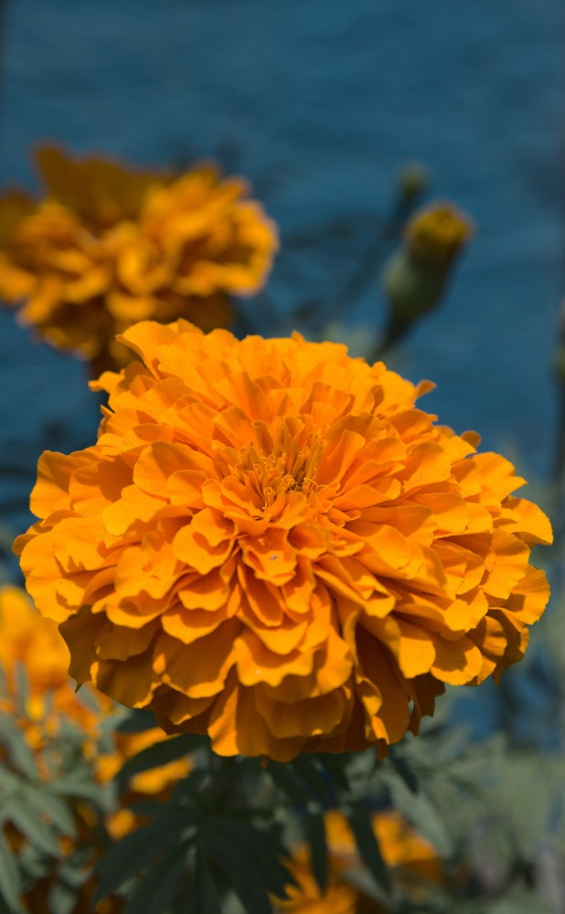 Flower Blue Background sml 3598.jpeg