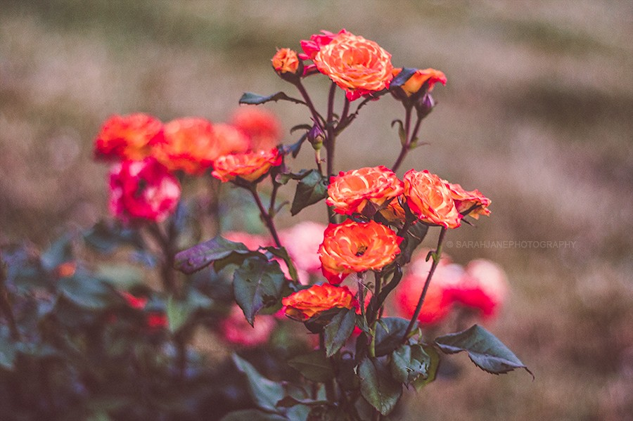 flowers_sarahjanephotography.jpg
