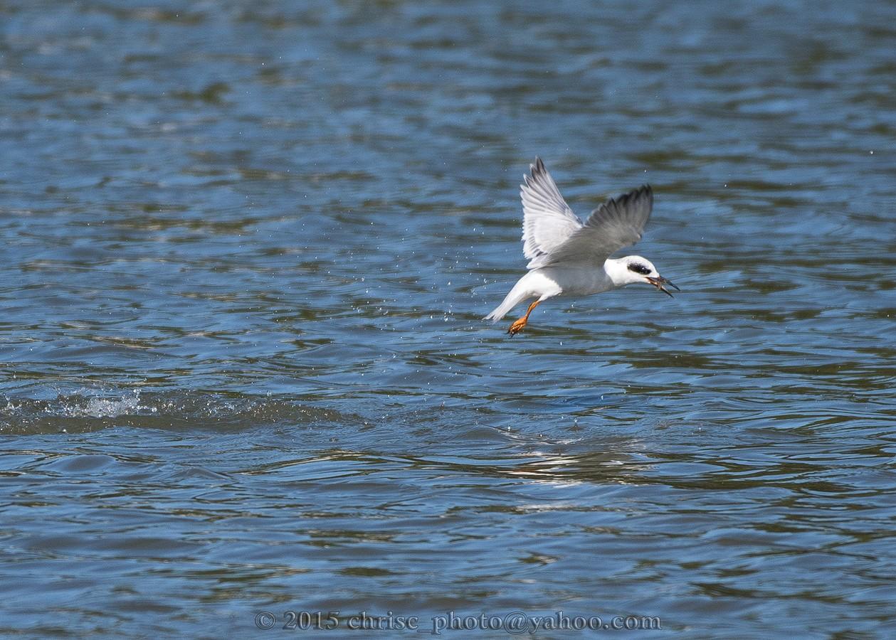 Forster-Tern-Last.jpg
