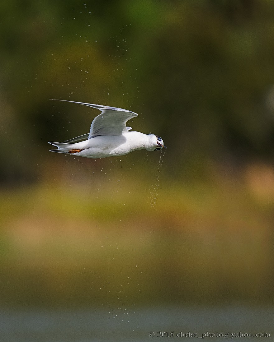 Forster's-Tern-Shaking-Off-a-Miss.jpg