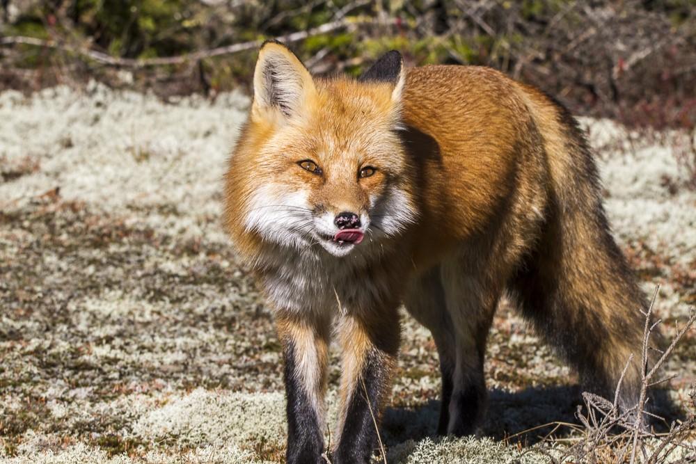 Fox-10.jpg