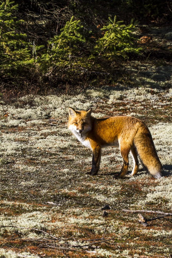 Fox-12.jpg
