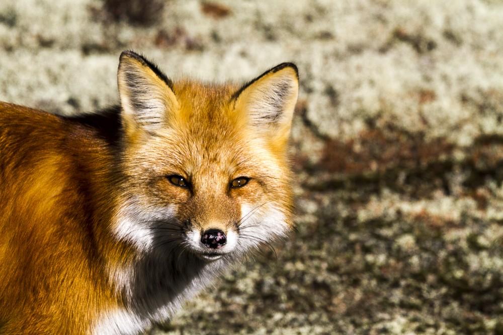 Fox-7.jpg
