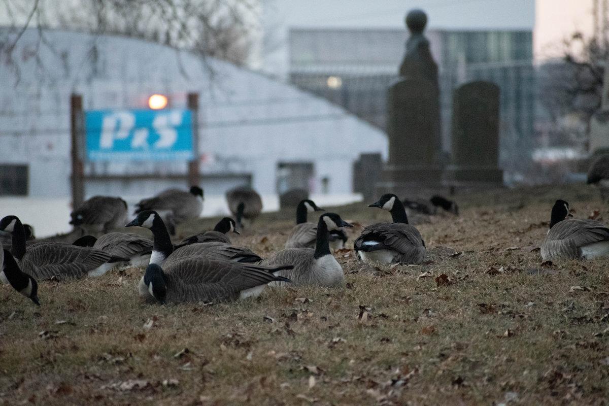 Geese-03-1.jpg