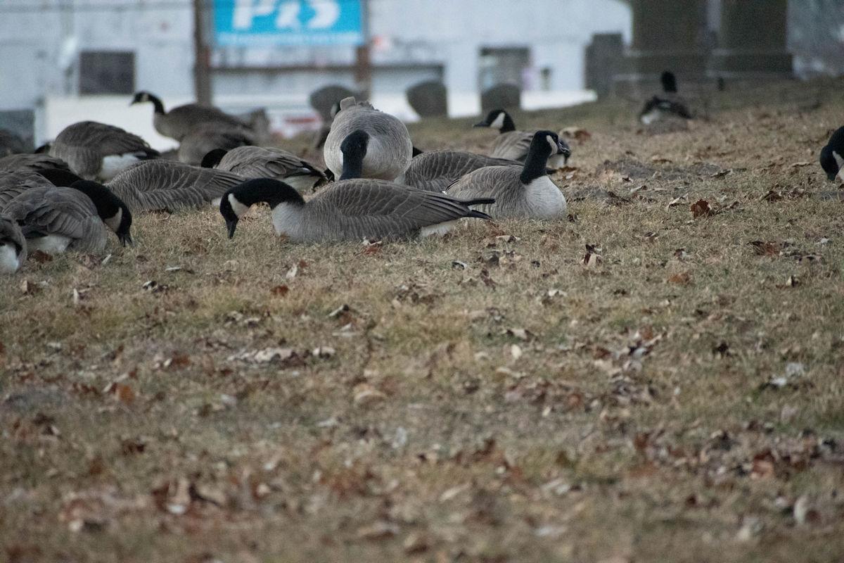 Geese-05-1.jpg