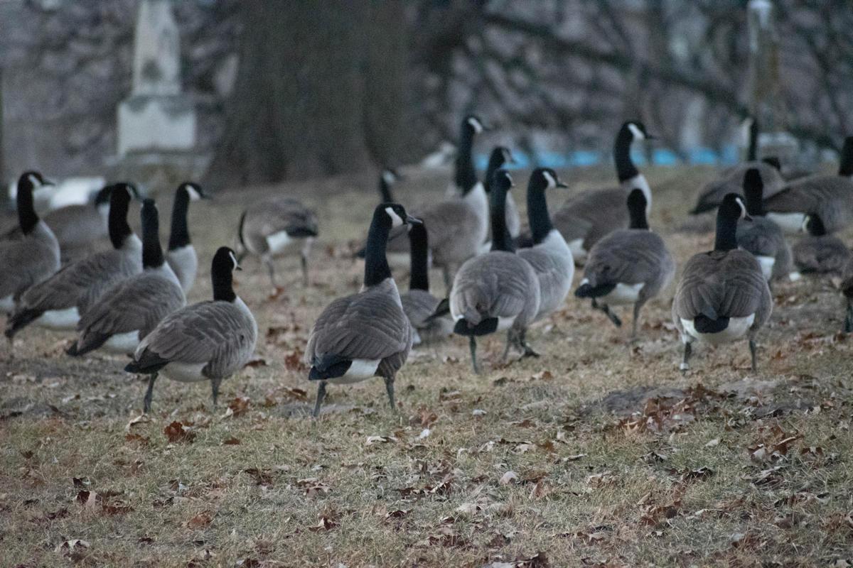 Geese-06-1.jpg