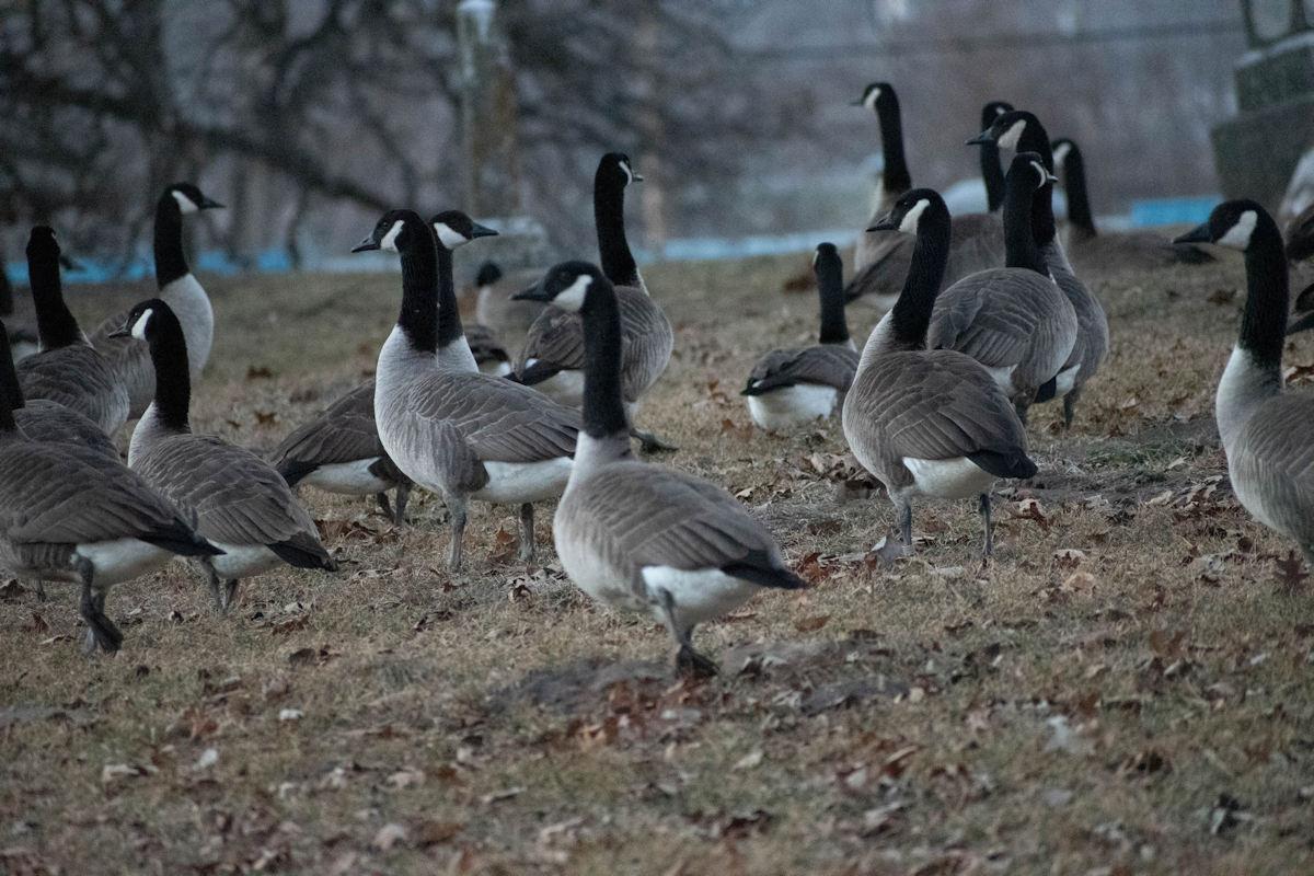 Geese-07-1.jpg
