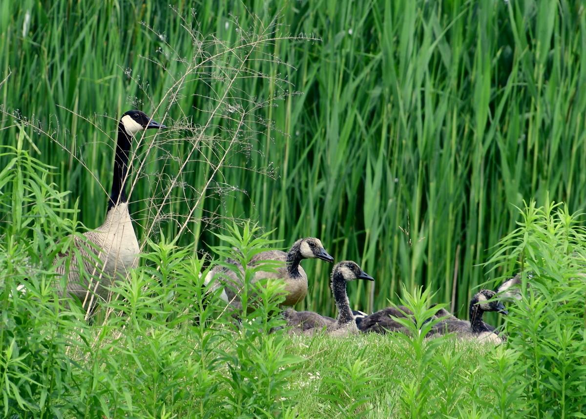 geese 077.JPG