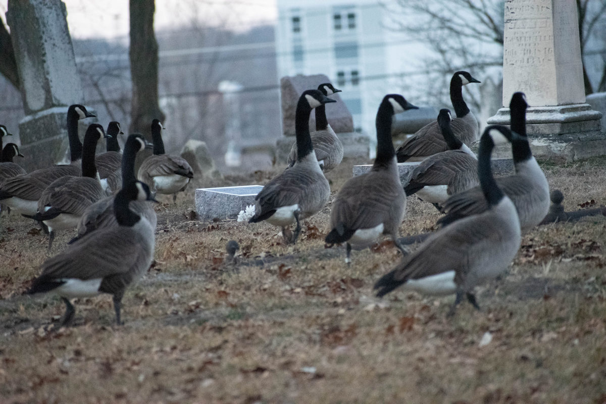 Geese-08-1.jpg