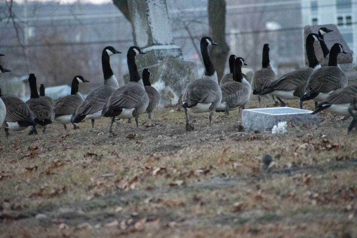 Geese-09-1.jpg