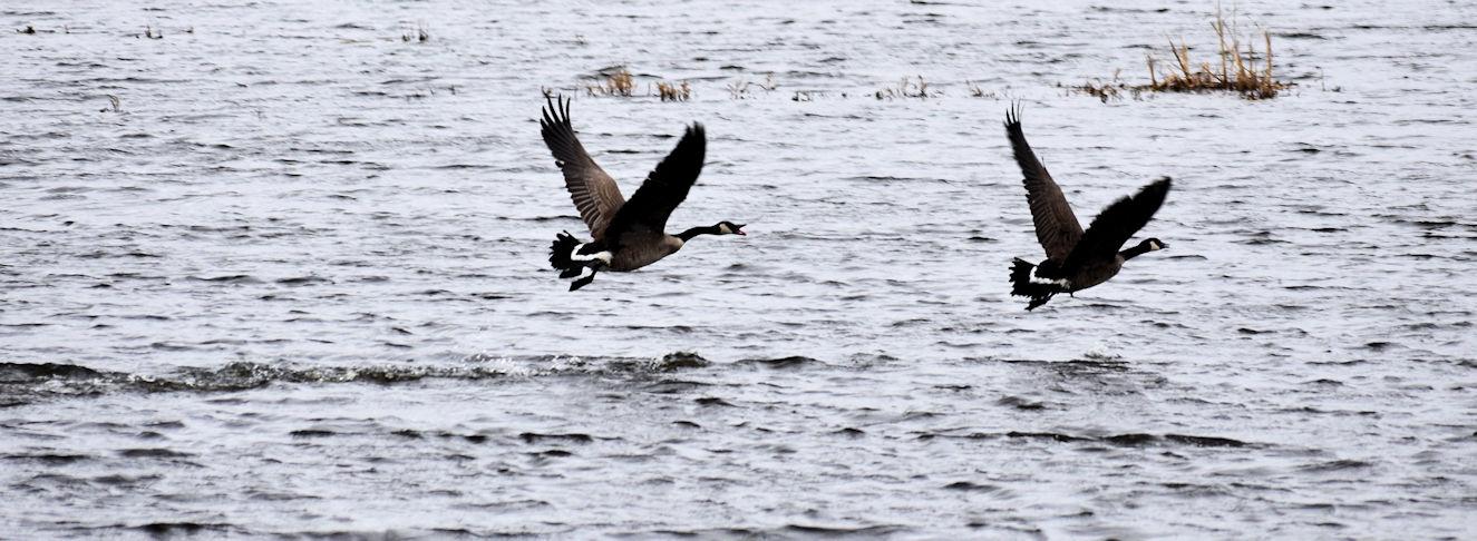 geese0707.jpg