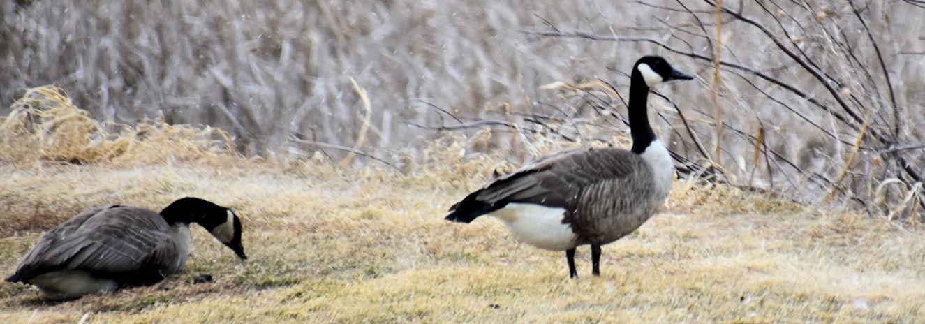 geese0742.jpg