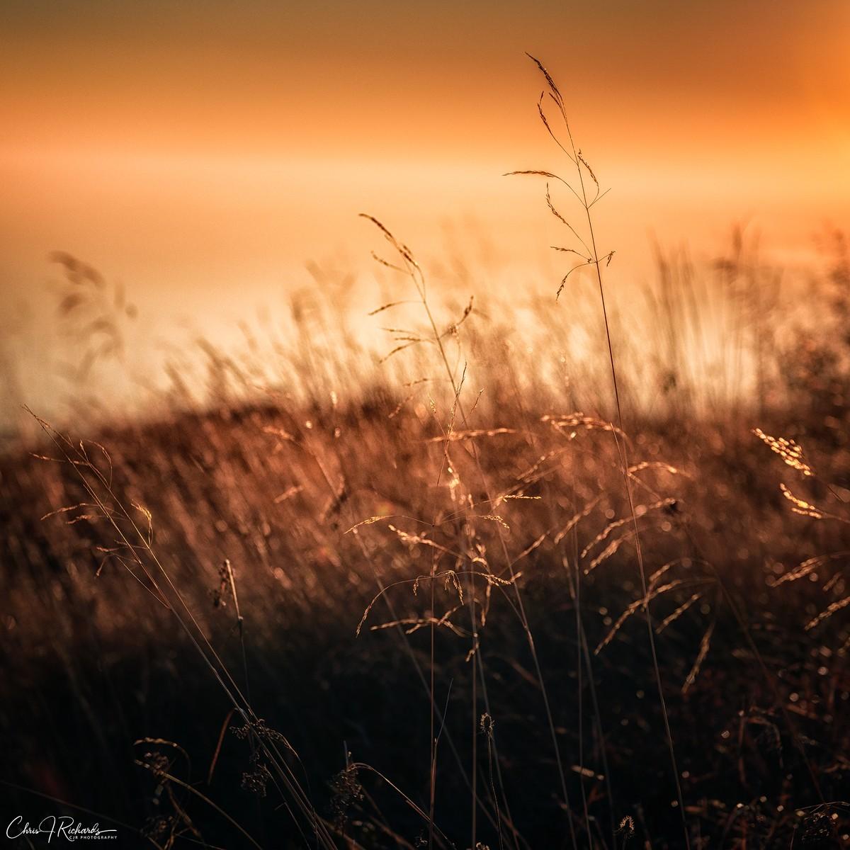 Golden_Grasses.jpg