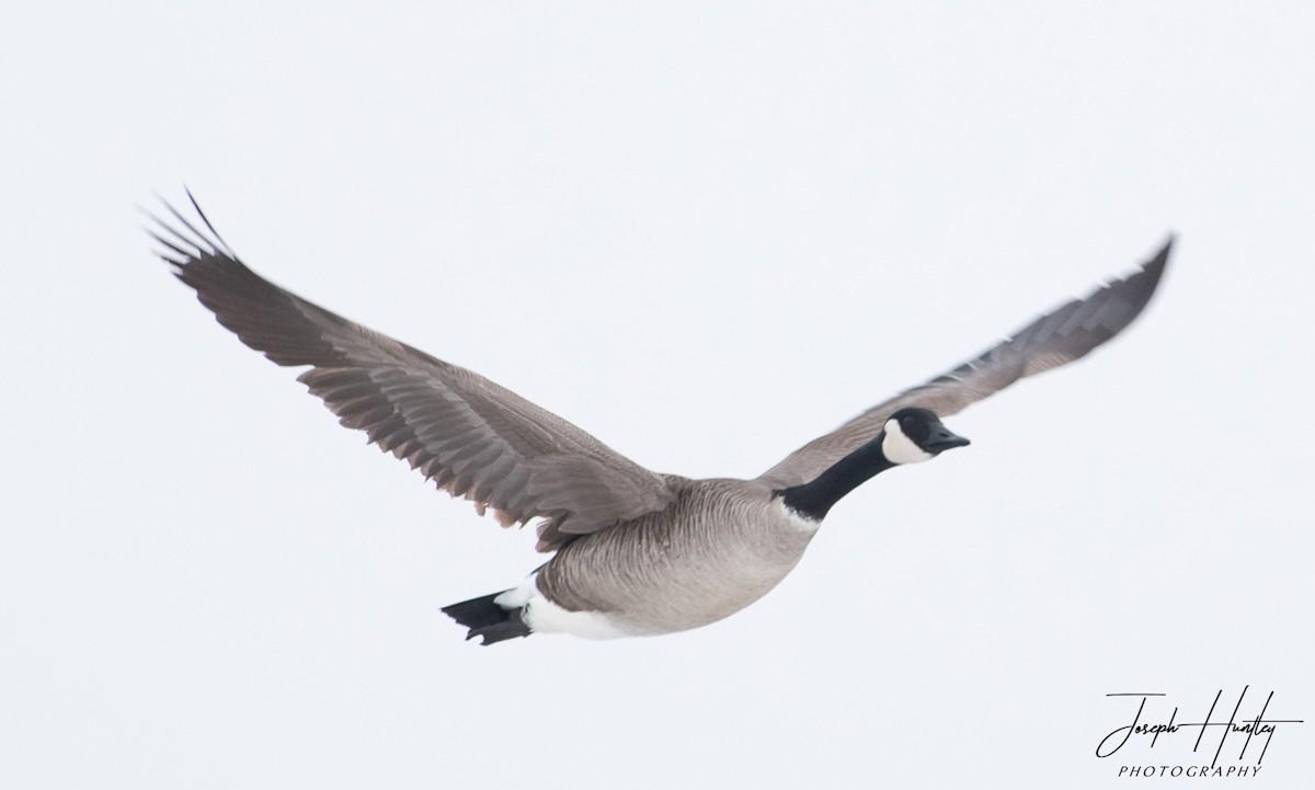 Goose-0743.jpg