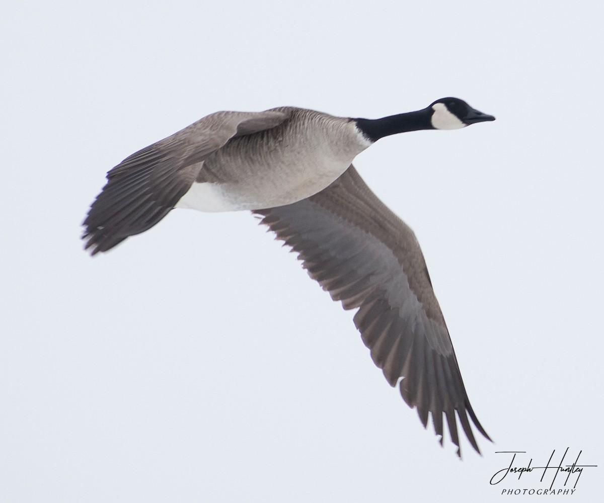 Goose-0747.jpg