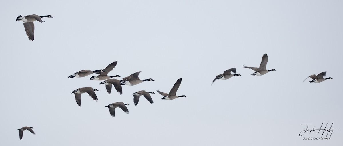 Goose-0777.jpg