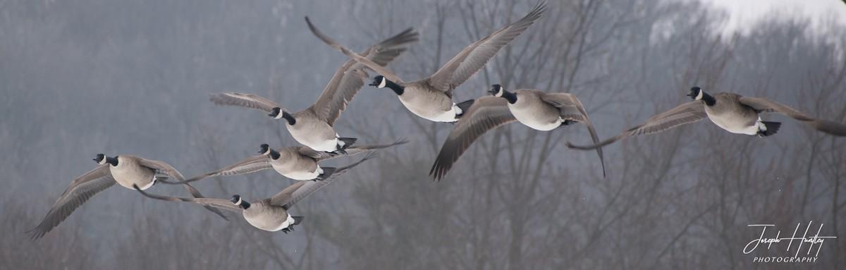 Goose-0831.jpg