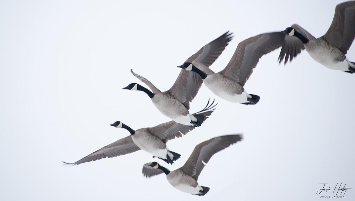 Goose-0833.jpg