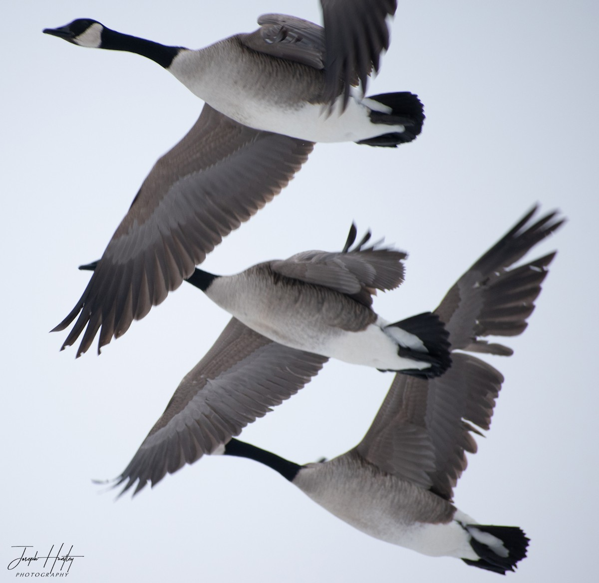 Goose-0837.jpg
