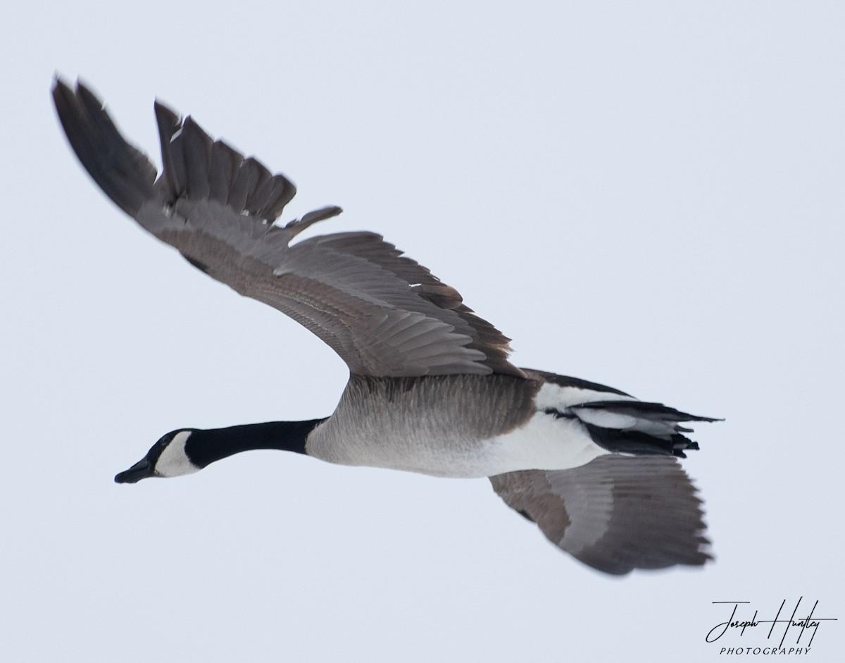 Goose-0847.jpg
