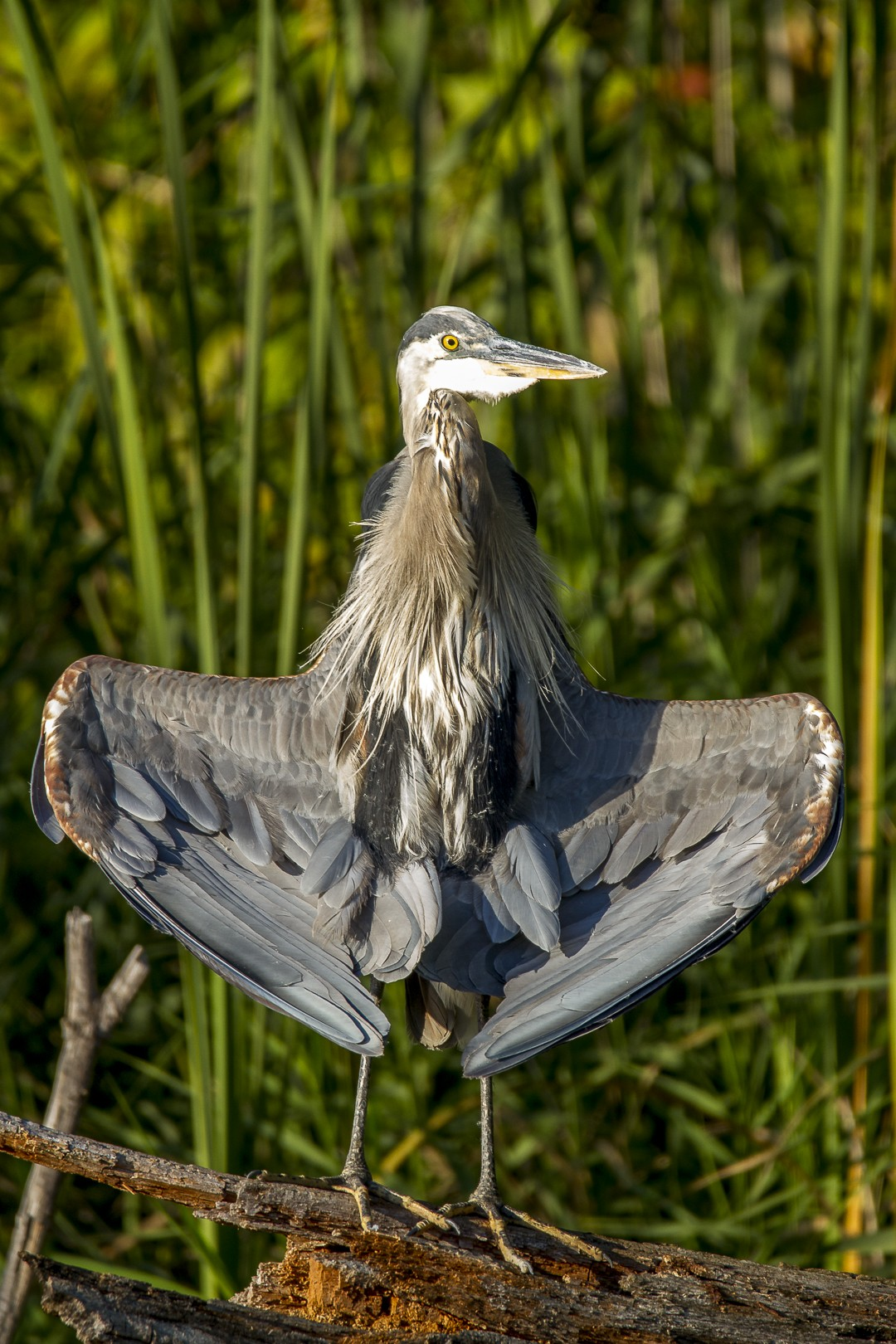Great blue heron-45b.jpg