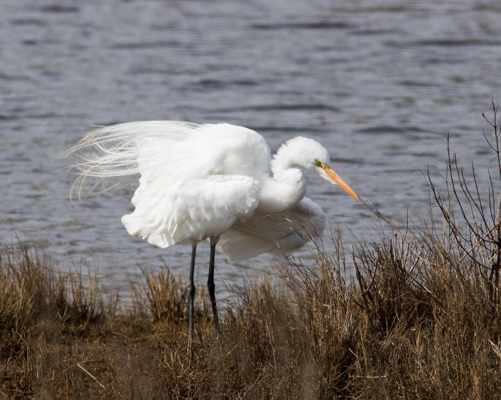 Great Egret resized.jpg