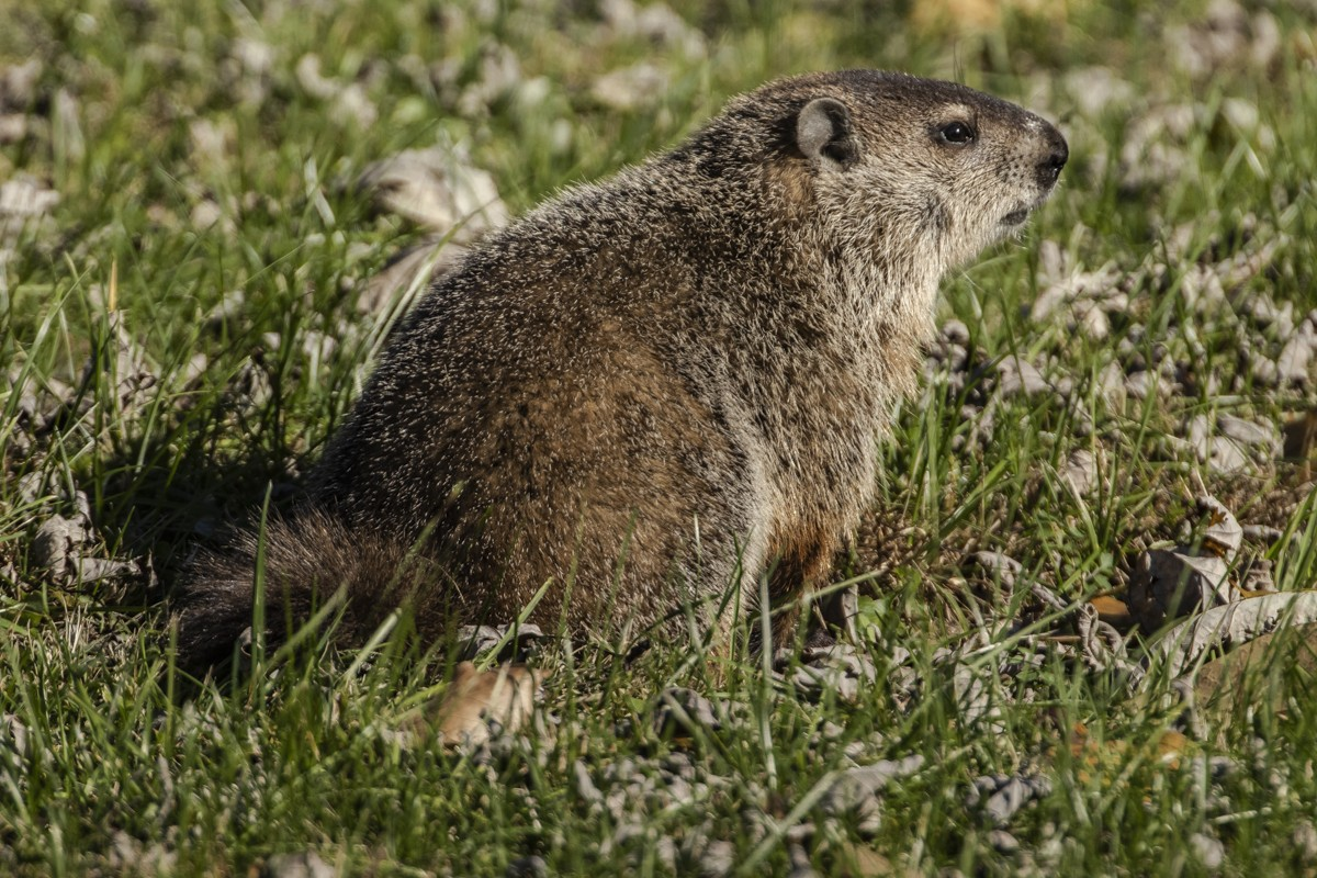 Groundhog 2.jpg
