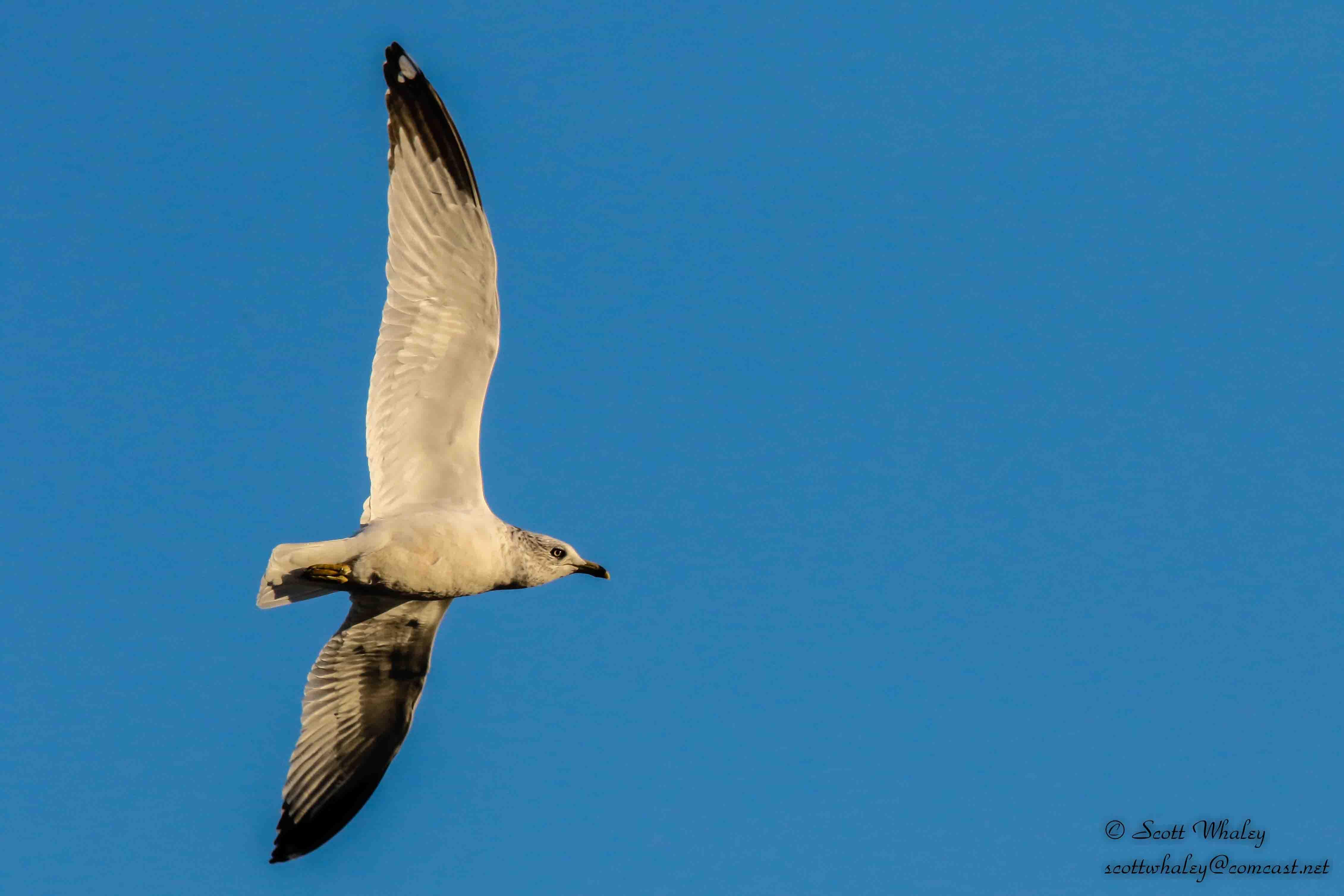 Gull 1 - Wings Spead  4 - VGA (1 of 1).jpg