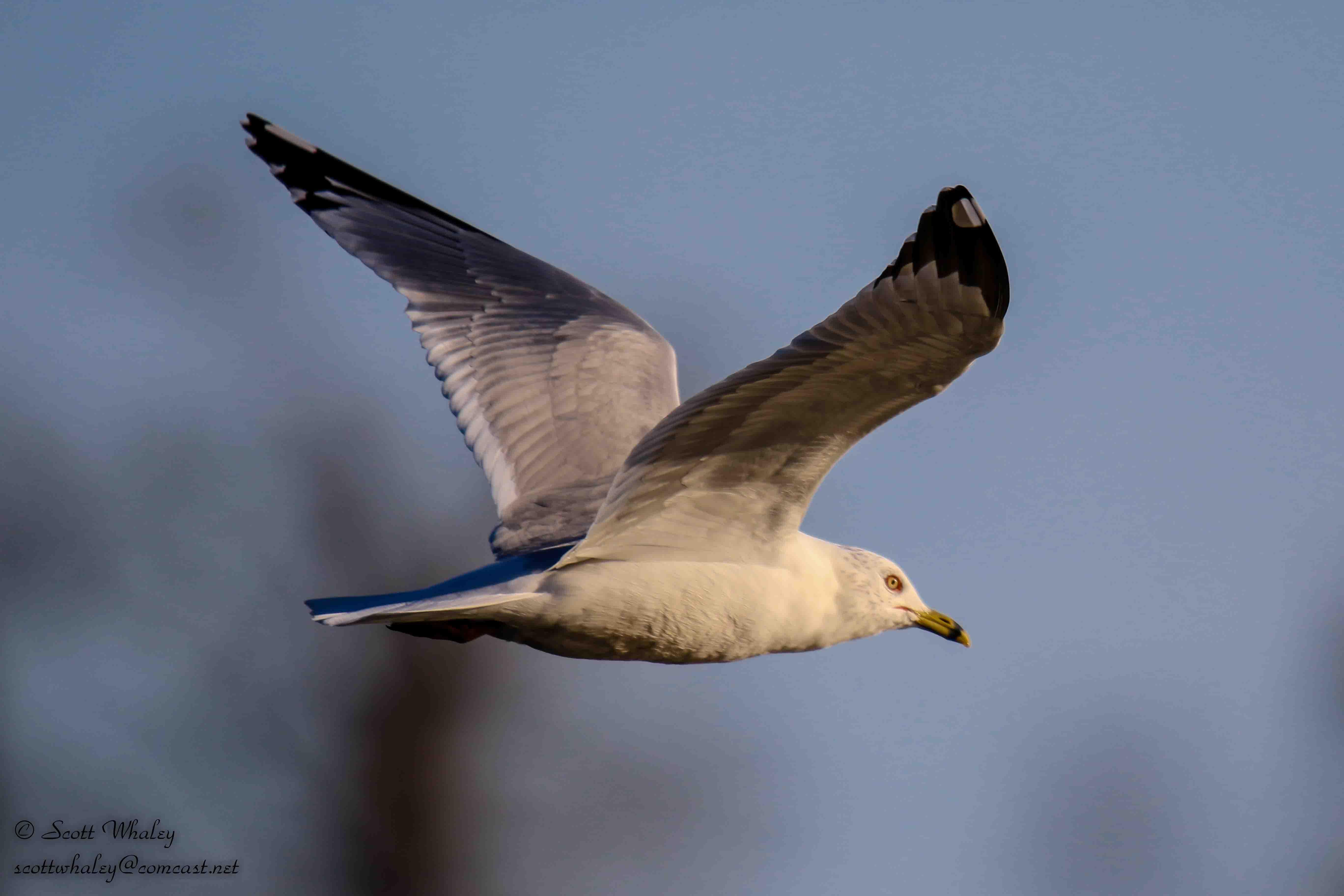 Gull 1 - Wings Spead - VGA (1 of 1).jpg