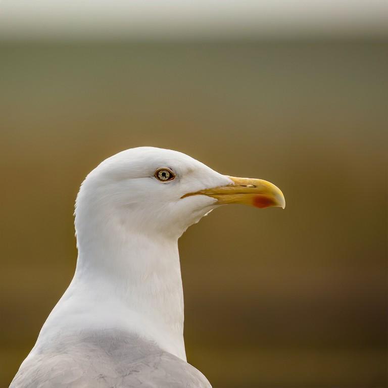 Gull L+R-1- DENOISED-denoise.jpg