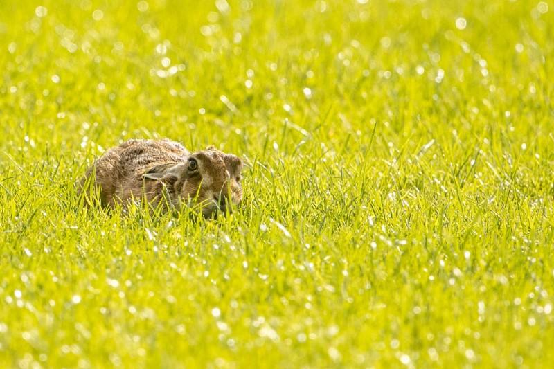 Hares-1.jpg
