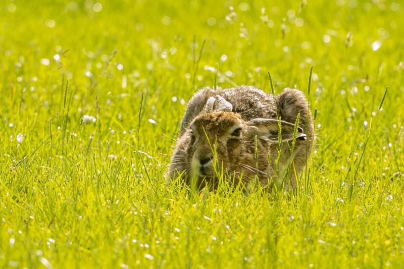 Hares-4.jpg
