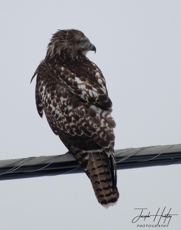 Hawk-0654.jpg