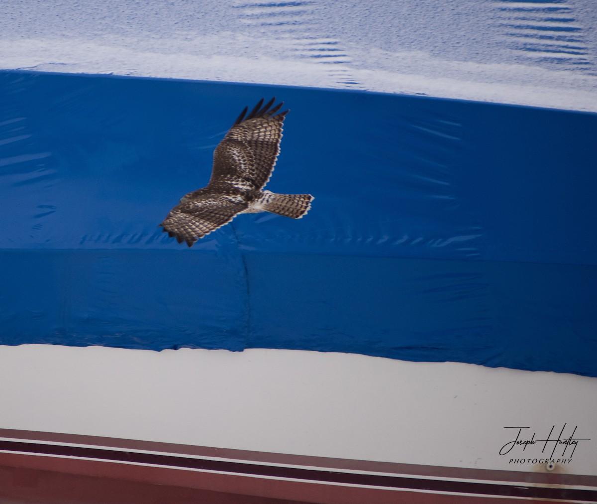Hawk-0668.jpg