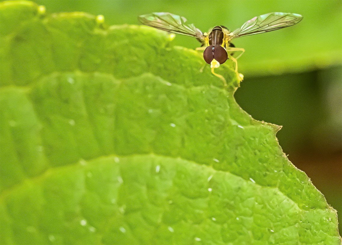Hover Fly.jpg